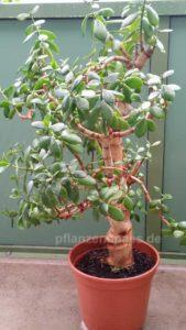 Bonsai Rohling Crassula braucht Bonsai-Schale