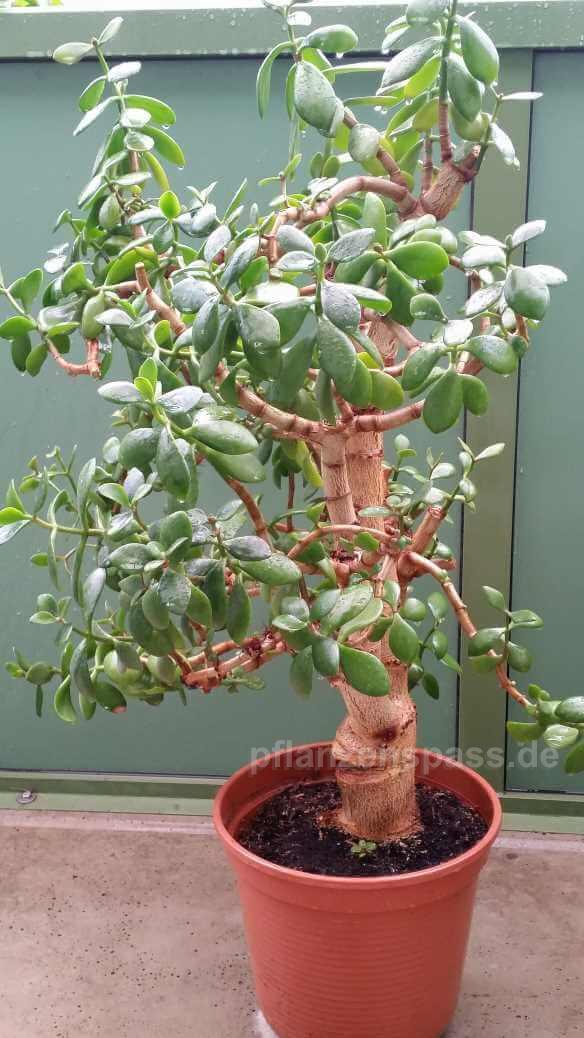 Crassula ovata im alter Blumentopf