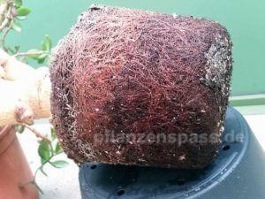 Wurzelballen Crassula ovata Affenbrotbaum Bonsai