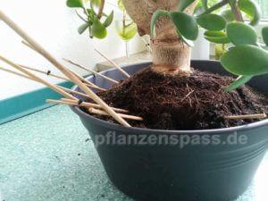 Bonsai Affenbrotbaum Crassula abstützen beim umtopfen