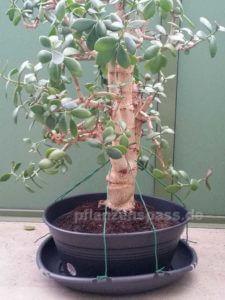 Crassula Ovata Spanndrähte Befestigung Affenbrotbaum