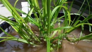 Cyperus esculentus Blätter Erdmandel anbauen Spielsand