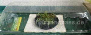 Fittonia albivenis Mosaikpflanze im Zimmergewächshaus