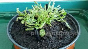 Mosaikpflanze Ursache Blattverlust Erde
