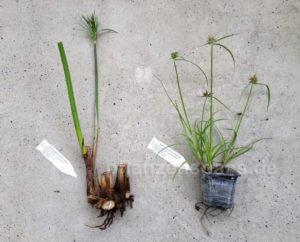 Cyperus Papyrus und Cyperus esculentus aus dem Versandhandel