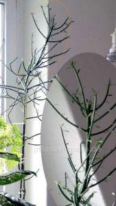 Bleistiftbaum mit Ableger
