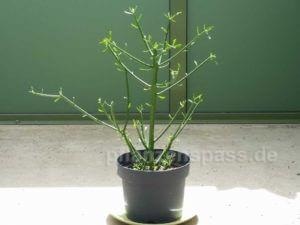 Euphorbia tirucalli Ableger eintopfen einpflanzen