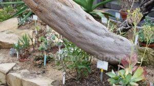 Bleistiftbaum Stamm Gewächshaus