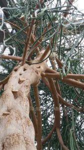 Euphorbia leucodendron Bleistiftbaum Gewächshaus Botanischer Garten Berlin