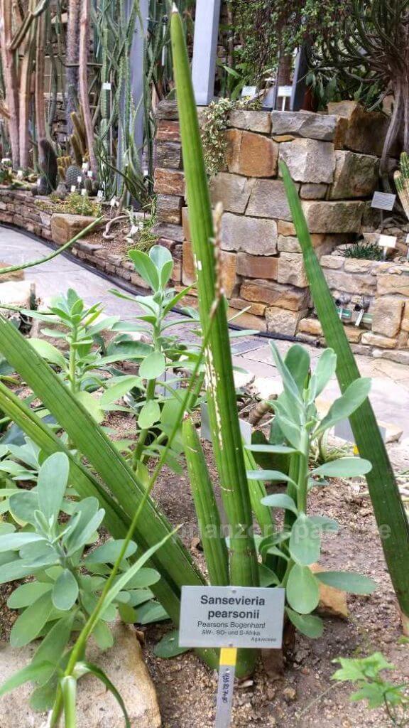 Sansevieria pearsonii Bogenhanf