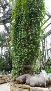 Gerrardanthus macrorhizus Kürbisgewächs Botanischer Garten Berlin
