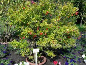 Granatapfelbaum Blüte Botanischer Garten Berlin