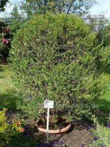 Myrte als Strauch Myrtus communis