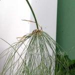 Cyperus papyrus erster Stängel hängt schief