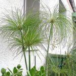 Cyperus papyrus Zuchtform aus Florida Wedel hellgrün