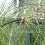 Cyperus papyrus zweiter Stängel instabil stützen