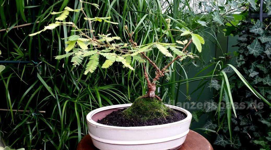 Mimose Bäumchen in BonsaiSchale
