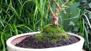 Mimosa pudica mit Stamm Bonsai selber ziehen
