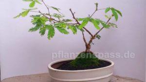 Mimose Bonsai Gestaltung Baum auf Anhöhe windgepeitschter Stil