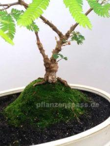 Mimosa pudica Bonsai mit Moos auf Anhöhe