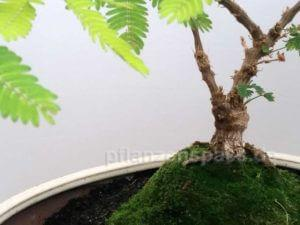 Mimose Bonsai Neuaustrieb aus Stamm
