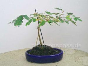 Mimose in ebay Bonsaischale - Mimosa pudica Bonsai