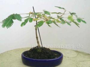 Mimose 5 Jahre alt als Bäumchen