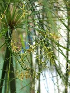 echter Cyperus Papyrus Blüte Samen