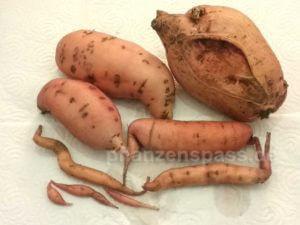 Süßkartoffeln selber anbauen Balkon Ernte