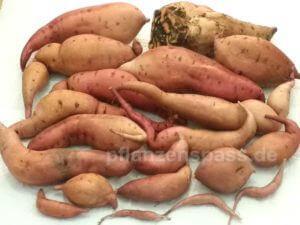 wieviele Süßkartoffeln Balkonkasten selber ernten