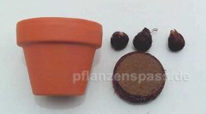 Tontopf 4cm für Anzucht, Erde in Tablettenform, 3 Zwiebeln Glücksklee