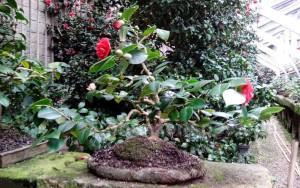 Kamelienbonsai Camellia japonica Dresden Pirna-Zuschendorf