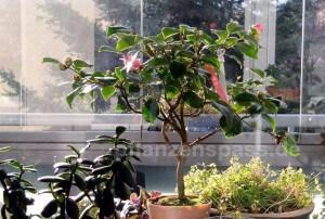 Camellia japonica auf dem Balkon