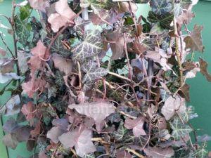 Efeu Winterhart Balkonpflanze