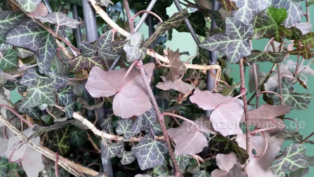 Efeu braune Blätter rotbraun Unterseite