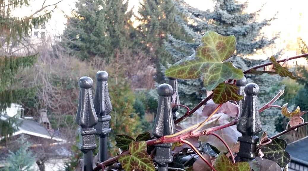 Efeu Kübelpflanze verträgt Frost