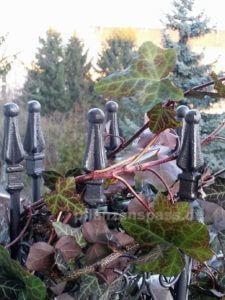 Efeu auf Balkon überwintern Rankgitter