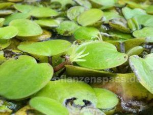 Südamerikanischer Froschbiss blüht unscheinbar