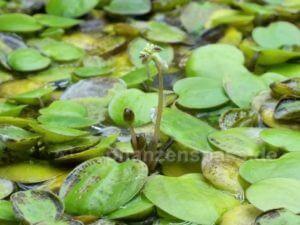 Froschbiss Blüte Stiel 1,5 cm hoch keine Blütenblätter