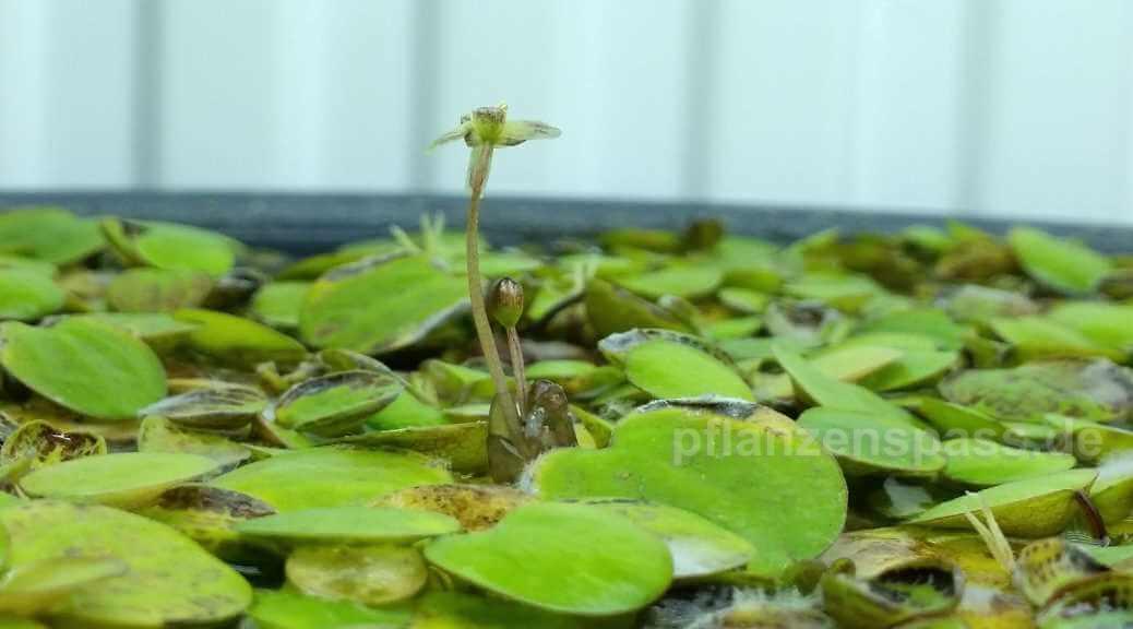 Blüte südamerikanischer Froschbiss