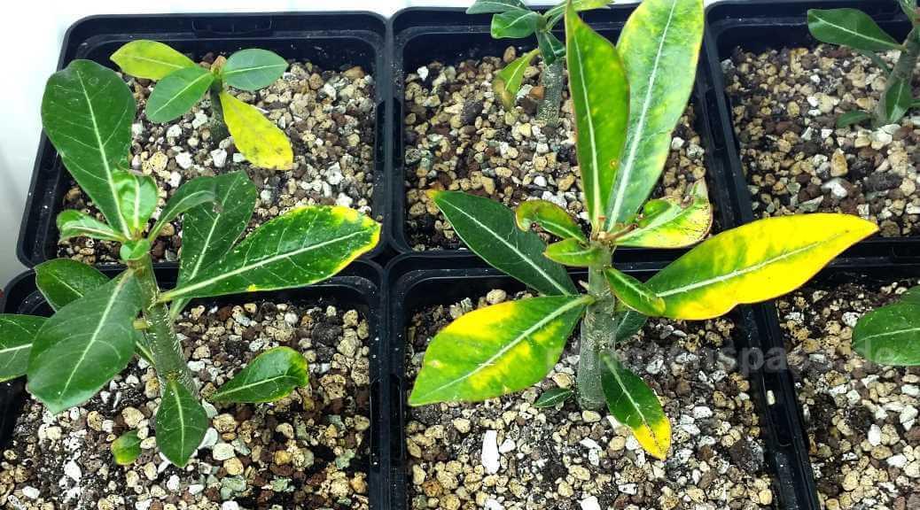 Wüstenrose gelbe Blätter Adenium obesum