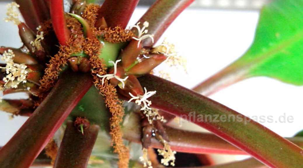 Spuckpalme Samen und Blüten Madagaskar Juwel
