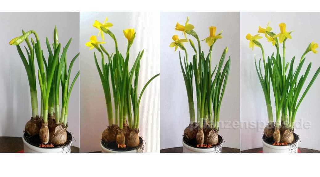 Narzissen Bedeutung Blüte Zeitraffer Blütezeit einpflanzen