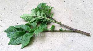Ableger Kartoffelpflanze machen