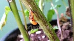 Marienkäfer gegen Blattläuse bekämpfen Balkonpflanze