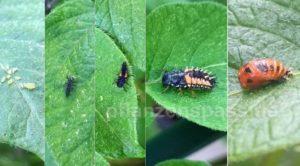 mit Marienkäferlarven Blattläuse bekämpfen