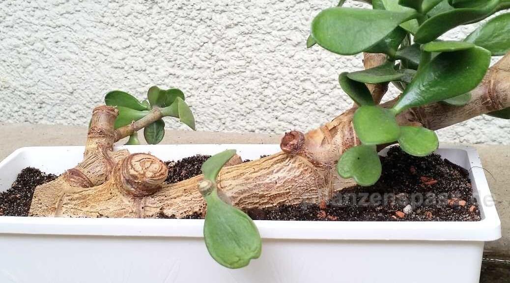 Crassula ovata Bonsai kriechende Form