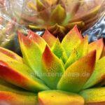 Echeveria Dickblatt mit Lackierung gefärbt