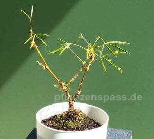Mimose Mimosa pudica in der IKEA Bonsai Schale aus Torkis
