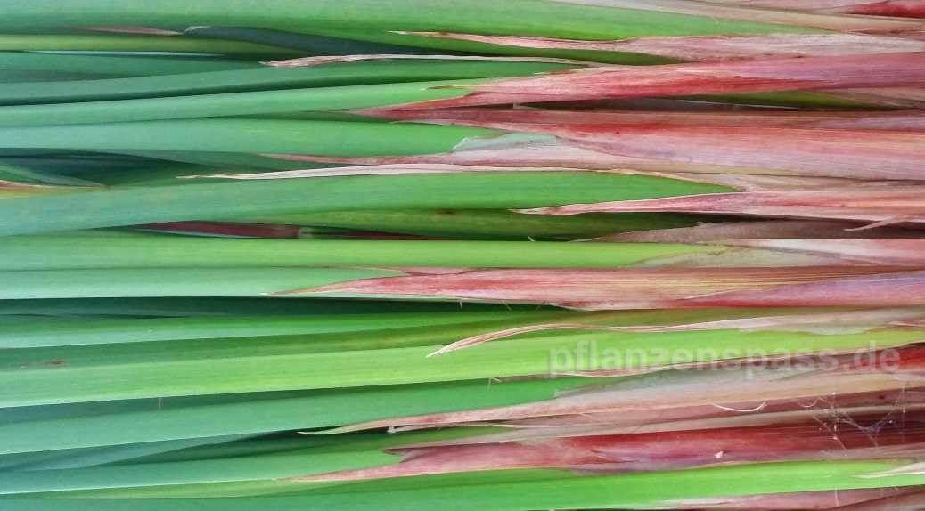 Cyperus papyrus echt gezüchtet Sorte unterscheiden